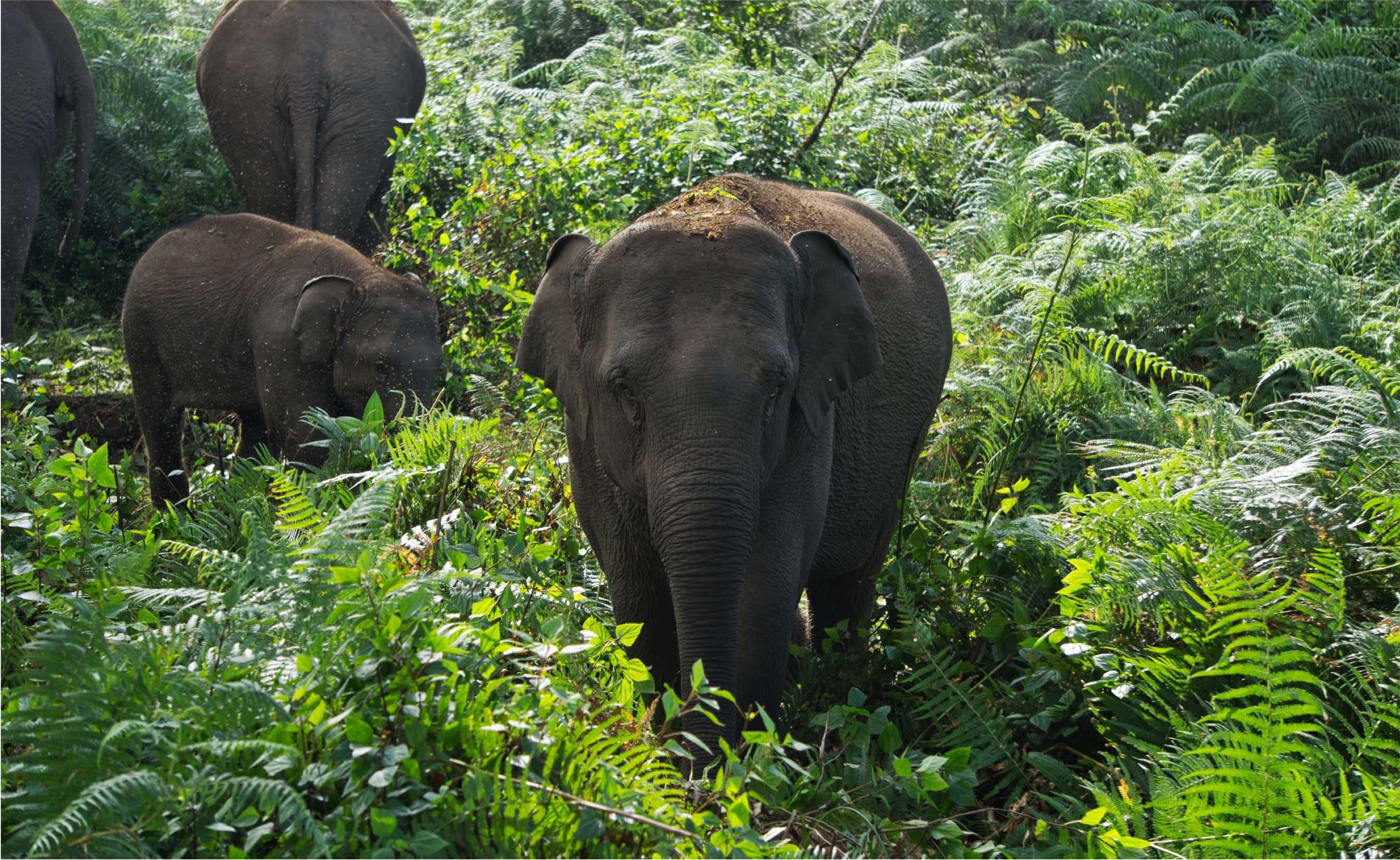 How research helps to protect Thai elephants