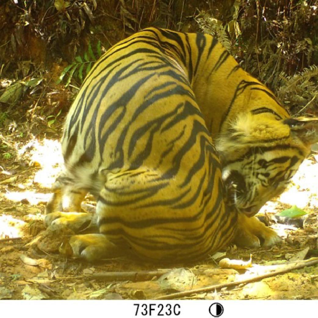 MSc + BSc project on Sumatran forest fauna (camera trap data)