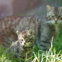 Saving the Scottish Wildcat